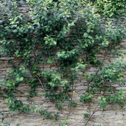 Prunus cerasus 'Morello'