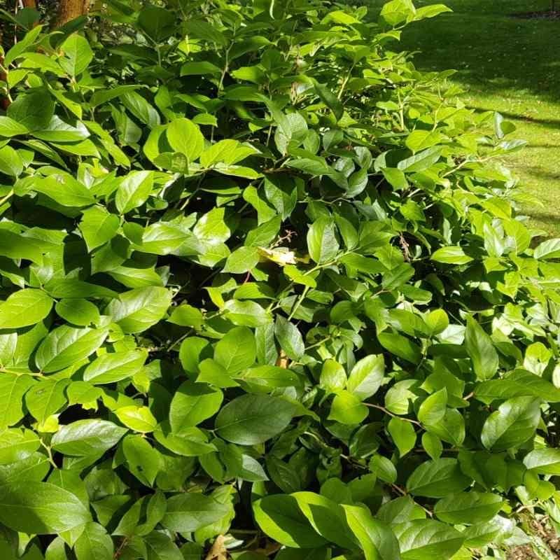 Gaultheria shallon - foliage