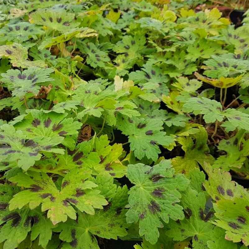 Geranium phaeum 'Samobor' - summer leaves