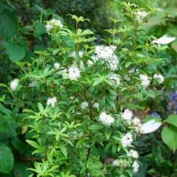 Acradenia frankliniae