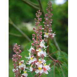 Aesculus indica 'Sidney Pearce'