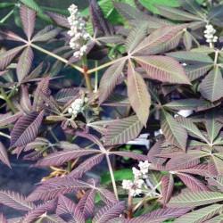 Aesculus pavia 'Spring Purple'