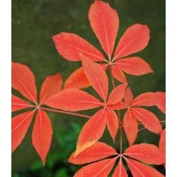 Aesculus x neglecta 'Autumn Fire'