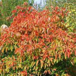 Aesculus x neglecta 'Autumn Fire'