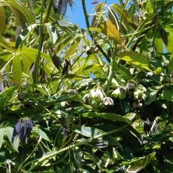 Holboellia latifolia
