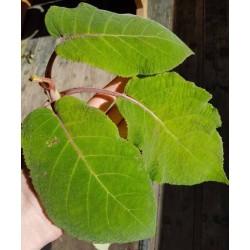 Hydrangea aspera 'Bellevue' - huge leaves