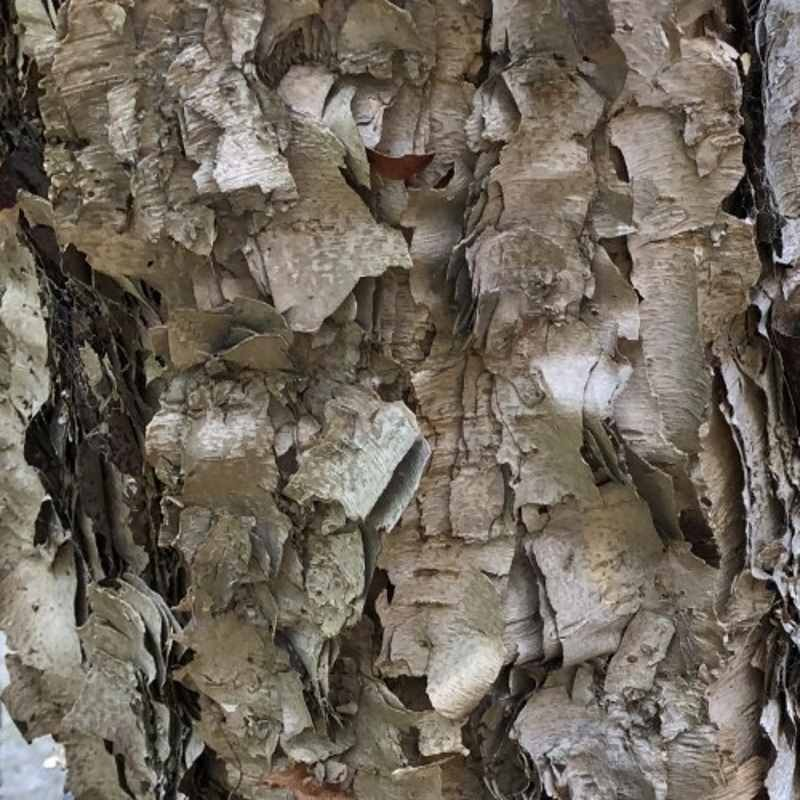 Betula dahurica 'Maurice Foster'