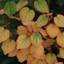 Cercidiphyllum japonicum 'Rotfuchs' - autumn colour