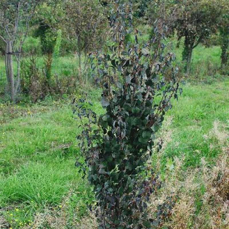 Cercidiphyllum japonicum 'Rotfuchs'