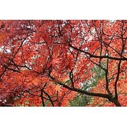 Acer palmatum - autumn colour
