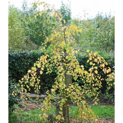 Cercidiphyllum japonicum 'Amazing Grace'