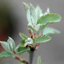 Malus tschonoskii - spring leaves