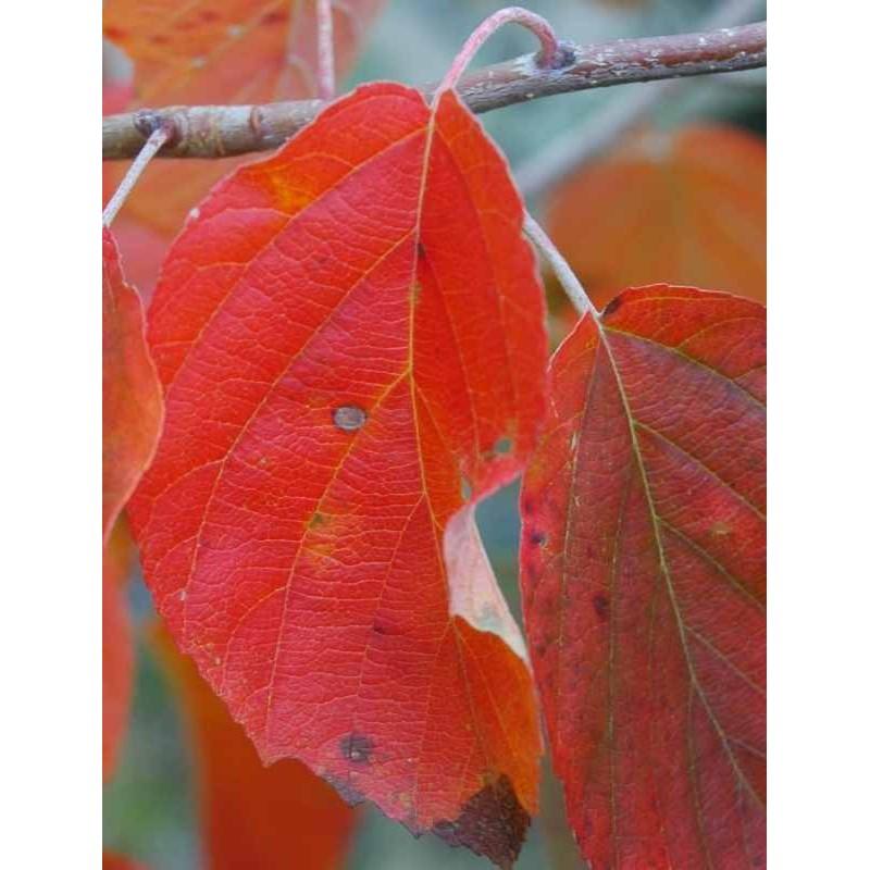 Malus tschonoskii - autumn colour
