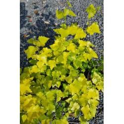 Betula pendula 'Schneverdinger Goldbirke'