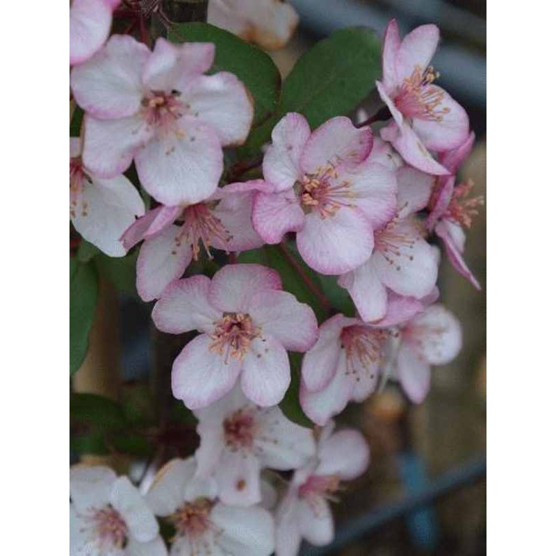 Malus 'Candymint'