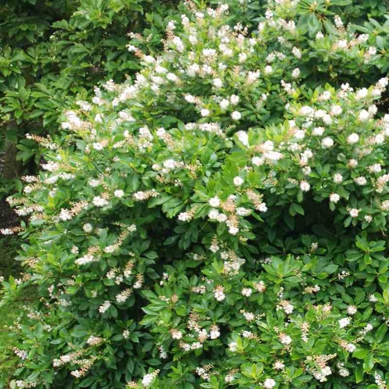 Clethra alnifolia 'Anne Bidwell'
