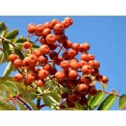 Sorbus 'Copper Kettle'