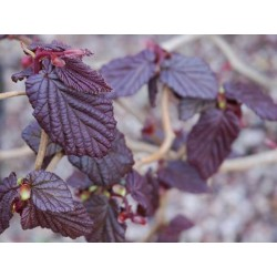 Corylus avellana 'Red Majestic'