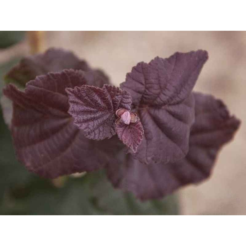 Corylus avellana 'Anny's Purple Dream'