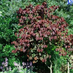 Cercis canadensis 'Forest Pansy' - summer leaves