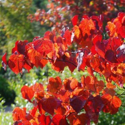 Cercis canadensis 'Forest Pansy' - autumn colour