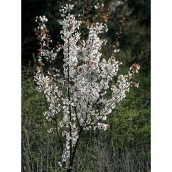 Prunus x hillieri 'Spire'