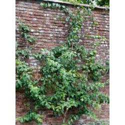 Prunus 'Victoria'