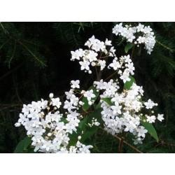 Deutzia setchuenensis var corymbiflora