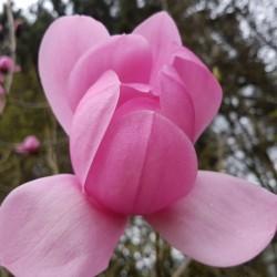 Magnolia sprengeri var diva 'Copeland Court'