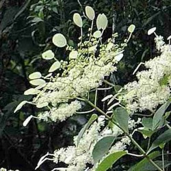 Schizophragma fauriei 'Angel Wings'
