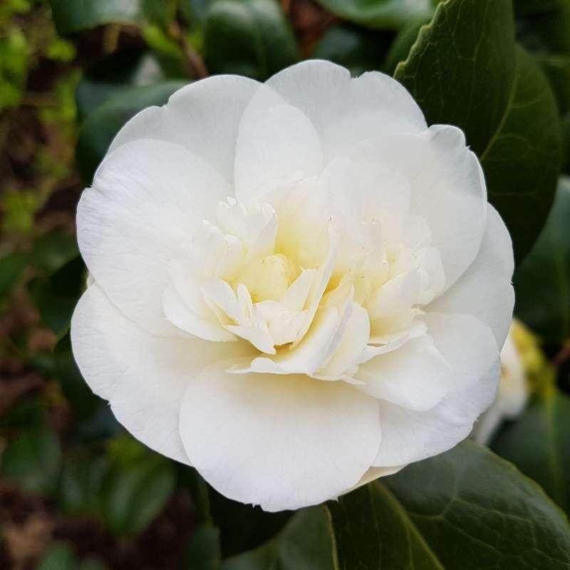Camellia japonica 'Nobilissima' - spring flowers