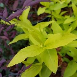 Diervilla rivularis 'Honeybee' - spring leaves