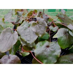 Epimedium 'Black Sea' - leaves in winter