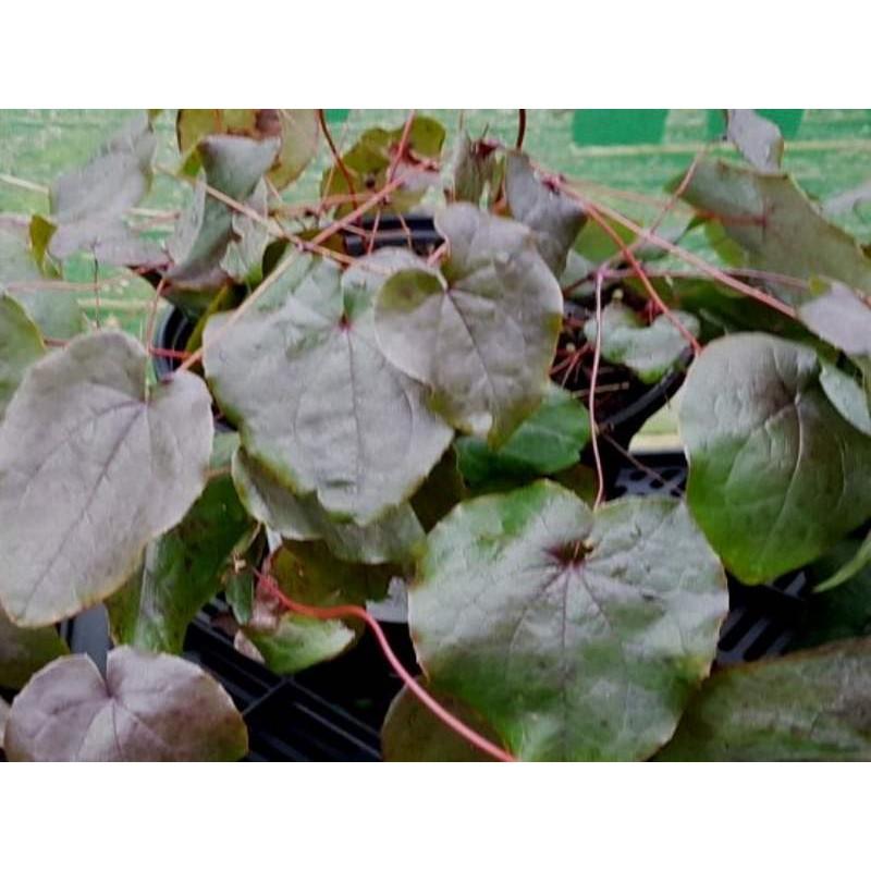 Epimedium 'Black Sea' - leaves in winter