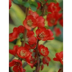 Chaenomeles japonica 'Sargentii'