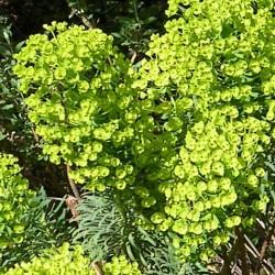 Euphorbia cyparissias subsp. wulfenii
