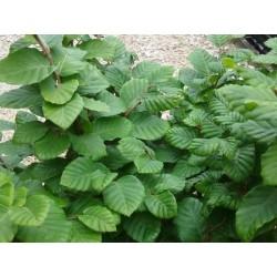 Fagus sylvatica 'Fruticosa'