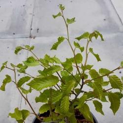 Fagus crenata 'Mount Fuji' - 3 to 4 year old plant