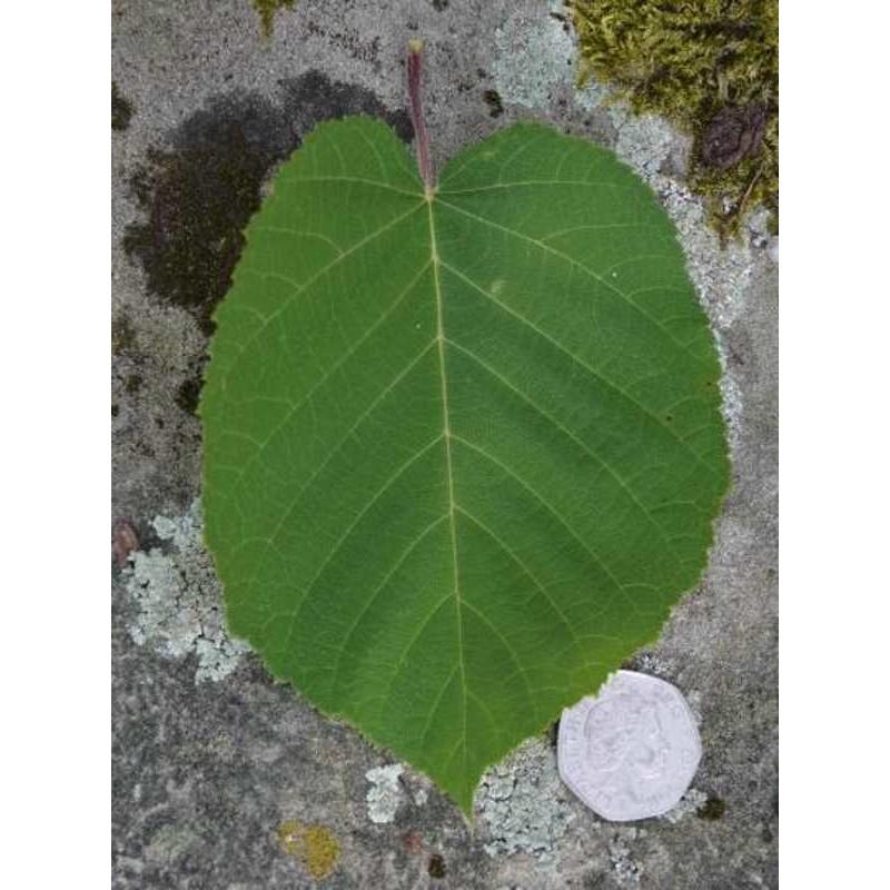 Betula maximowicziana