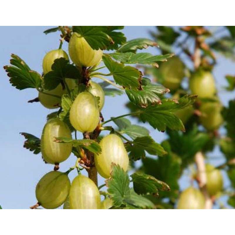 Ribes 'Invicta'