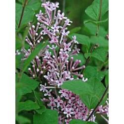 Syringa pubescens subsp patula 'Miss Kim'