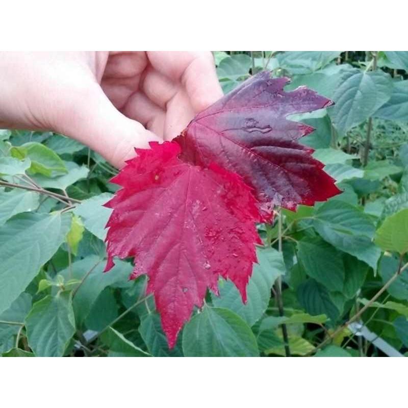 Vitis vinifera 'Spetchley Red'