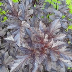 Physocarpus opulifolius 'Midnight'