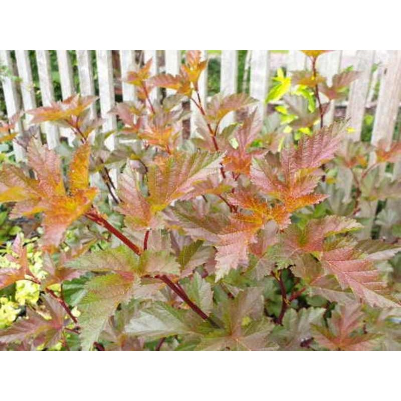 Physocarpus opulifolius 'Summer Moon'
