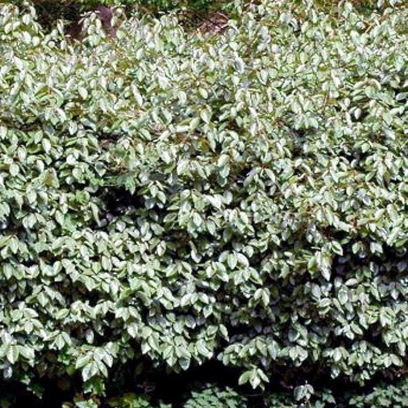 Elaeagnus x ebbingei