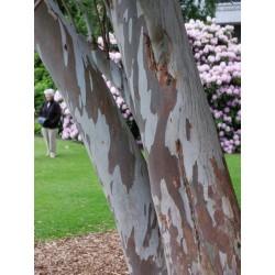 Eucalyptus gunnii - bark