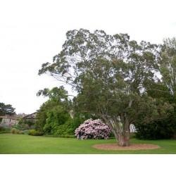 Eucalyptus gunnii - established full sized tree
