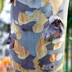 Eucalyptus pauciflora subsp niphophila