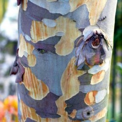 Eucalyptus pauciflora subsp niphophila - bark