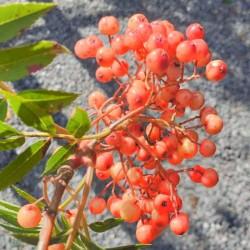 Sorbus 'Eastern Promise'
